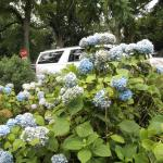 Hydrangeas are the flower of choice in the Hamptons.