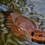 Beaver Swimming