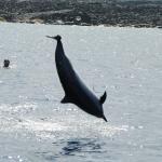 Spinning Spinner Dolphin
