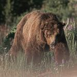 Scvarface the Grizzly bear