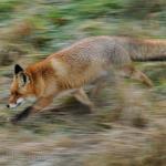 Le volpi e le loro corse