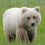 2 year old Orphan Brown Alaskan bear cub