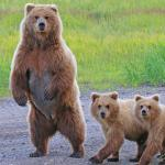 Mom and her 2 year old cubs -Alaskan Brown Bear