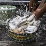 Cleaning fish on the deck of a fishing boat, Teluk Bahang, Penang