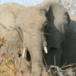 Elephant close up during a game drive