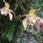 Slipper Orchid at Taman Eden 100 Rainforest