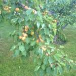 Вокруг коттеджей растут абрикосы, груши и яблони