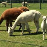 Foto de Silver Fox Farm Alpacas