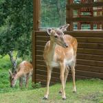 Deer outside Doe View Lodge