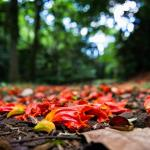 Tapis de fleurs du Tulipier du Gabon (pis pis)