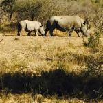 Rhinos (Hluhluwe NP)