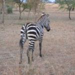 A zebra outside my tent