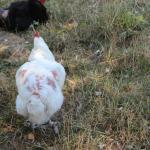 des poules en mauvais état