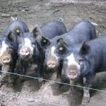 Our Berkshire pigs