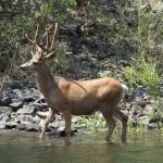 Buck along the bank