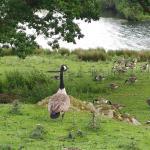 Canadian Geese nursery