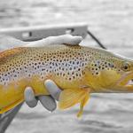 Yellowstone summer brown trout!