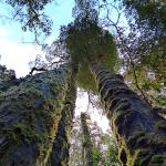 Tall trees on the rain forest walk