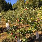 Breakfast basket & surrounding apple trees! Not for picking, just for admiring. Beautiful sunris
