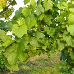Beautiful vines