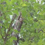 公園の樹に居たカブト虫