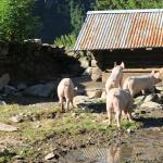 Pigs on the grounds