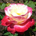 Bi-colored rose