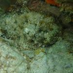 Spotted Scorpionfish: snorkelling from Harbourview