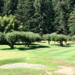 Deer grazing on golf course beneath apple trees