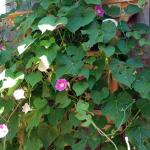 We love it when the morning glories finally start to bloom, this year, in glorious profusion