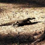 Well feed goanna leaving us alone