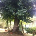 L'albero secolare