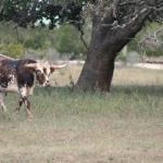 longhorn on property