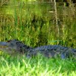 Alligator that is in a pond next to the hotel.