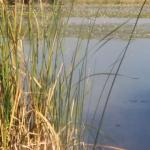 Pond with cattails