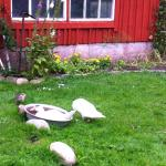 Ducks in front of the house