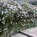 Our beautiful clematis in full flower