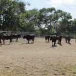 Les taureaux de la manade