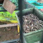 Sunflower seeds for the lovebird with ants.