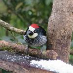 acorn woodpecker viewed from Miriam's