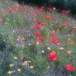 Field Of Wild Poppies In Padstow 2015