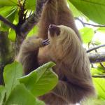 Two-toed sloth near the Buena Vista Del Sol Pool