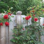 red roses on the back fence