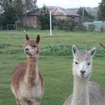 Friendly alpacas on the property