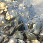 mussel-covered rocks, great for exploring!