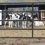 A View of the calves on the working farm