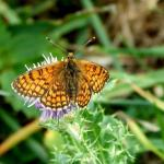 Meadow Fritilliary