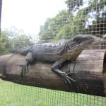 An adult female Utila iguana