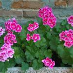 Gerani fioritissimi