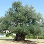 Mastrinka - Old Olive Tree